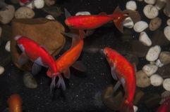 goldfish01 Fotografia Royalty Free