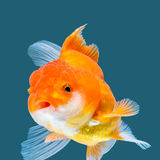 Goldfish Photo stock