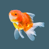 Goldfish Image stock