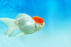 Goldfish. The goldfish in the goldfish bowl  in beijing Stock Photo