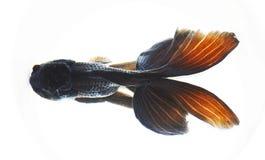 Goldfish Photos libres de droits