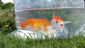 Goldfish Immagini Stock Libere da Diritti