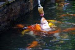 Goldfish foto de stock