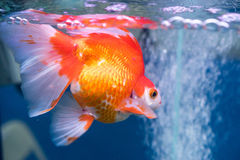 Goldfish Lizenzfreie Stockfotografie