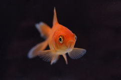 Goldfish 7. A closeup of a goldfish against a black background royalty free stock photography