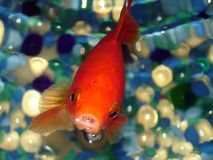 Goldfish. Looking up in a tank with blue stones Royalty Free Stock Images