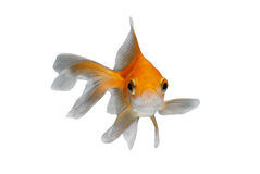 Goldfish. Due to the fleshy outgrowth on the upper half of its head and sides of its face, the oranda has become one of the most popular goldfish.It is described stock photography