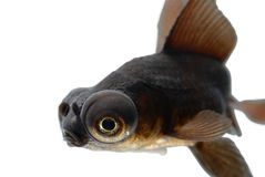 Goldfish. The Goldfish, Carassius auratus, was one of the earliest fish to be domesticated, and is still one of the most commonly kept aquarium fish and water royalty free stock photos