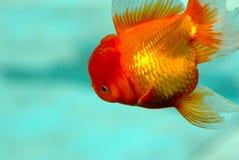 goldfish Obraz Stock