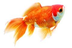 Goldfish. Fan tail goldfish - isolated object Stock Photo