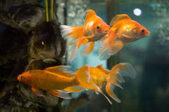 Goldfish imagens de stock royalty free