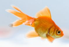 goldfish Obrazy Royalty Free
