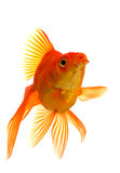 Goldfish Foto de Stock