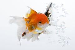 Goldfish 01 Στοκ Φωτογραφίες