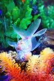 Goldfish foto de stock royalty free