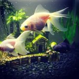 goldfish στοκ εικόνες με δικαίωμα ελεύθερης χρήσης