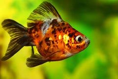 Goldfish in acquario fotografie stock libere da diritti