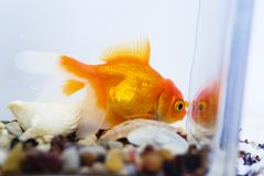 Goldfish in acquario Immagine Stock Libera da Diritti