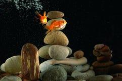 Goldfish in acquario Fotografie Stock