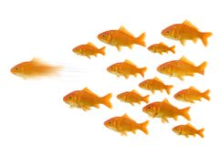 Goldfish ahead of the group Royalty Free Stock Images