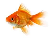 Goldfish aislado en blanco Foto de archivo libre de regalías