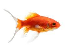 Goldfish aislado en el fondo blanco Fotos de archivo