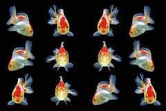 Goldfish aislado en fondo negro Fotografía de archivo libre de regalías