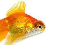 Goldfish alaranjado Imagens de Stock