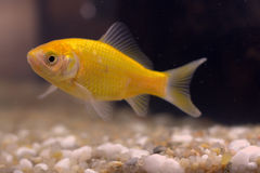 Goldfish in the aquarium. A goldfish with short tail stock photos