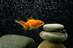 Goldfish in aquarium. Over well-arranged zen stone and nice bokeh of bubbles Stock Photo