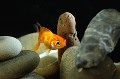 Goldfish in aquarium. Over well-arranged zen stone and nice bokeh of bubbles Royalty Free Stock Photography