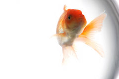 Goldfish in aquarium Royalty Free Stock Image