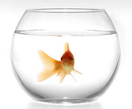 Goldfish in aquarium Royalty Free Stock Photos