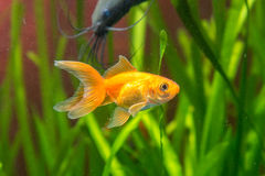Goldfish in an aquarium, with the background Stinging catfish and plants Stock Images