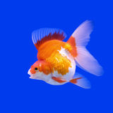 Goldfish in the aquarium Royalty Free Stock Photo