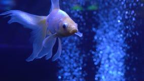 Goldfish in the aquarium. Beautiful goldfish in the aquarium stock video