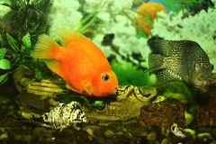 Goldfish in an aquarium. Beautiful ornamental fish swim in an aquarium Stock Photos