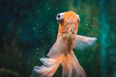 Goldfish in aquarium.Close-up. Goldfish with a white tail. Wonderful and incredible underwater world with fish. stock photos