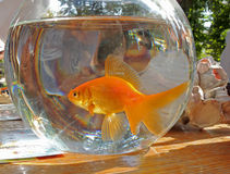 Goldfish in the aquarium Royalty Free Stock Photography
