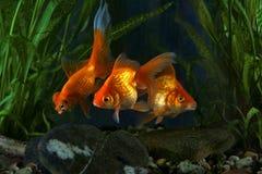 Goldfish, aquarium, fish on the background of aquatic plants Stock Image