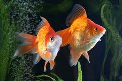 Goldfish, aquarium, fish on the background of aquatic plants Royalty Free Stock Photos
