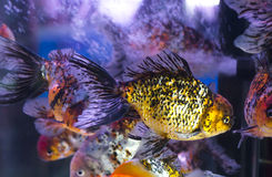 Goldfish in Aquarium.Fish and water are saturate colour with dis Stock Photos