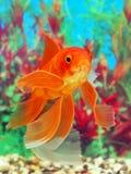 Goldfish in an aquarium Royalty Free Stock Photo