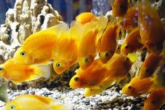 Goldfish in the aquarium. Underwater world Stock Image