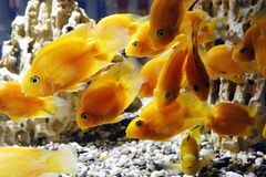 Goldfish in the aquarium. Underwater world Royalty Free Stock Images