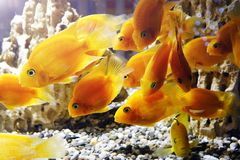 Goldfish in the aquarium. Underwater world Royalty Free Stock Photography