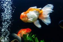 Goldfish in aquarium Stock Images