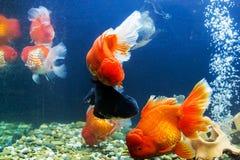 Goldfish in aquarium Royalty Free Stock Image