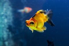 Goldfish in aquarium Royalty Free Stock Photo