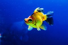 Goldfish in aquarium Royalty Free Stock Photos